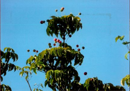 逸朗  ヤマボウシの赤い実
