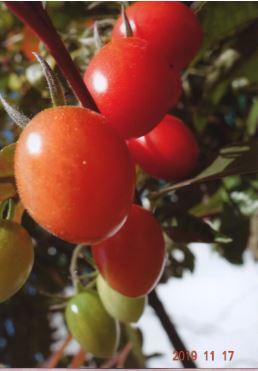 エダ  最後の収穫ミニトマト