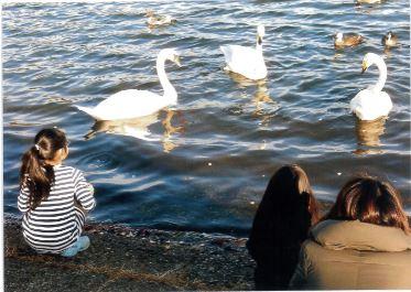 しおたろう  加瀬沼の白鳥