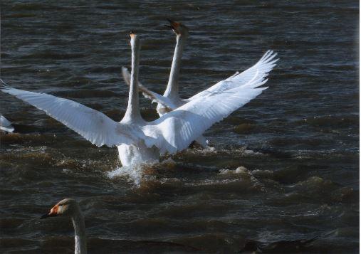 しおたろう  内沼の白鳥