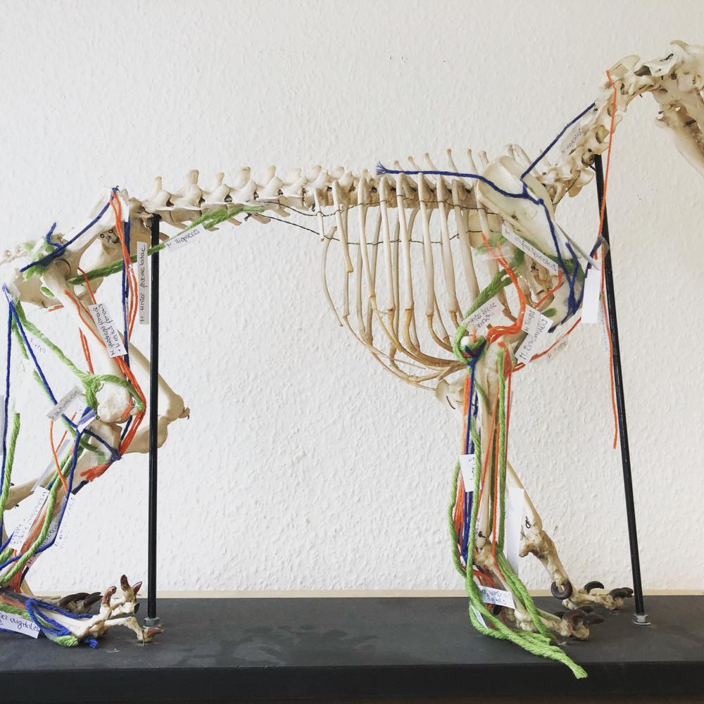 Skelett eines Hundes, mit Wollfäden werden die Muskeln dargestellt
