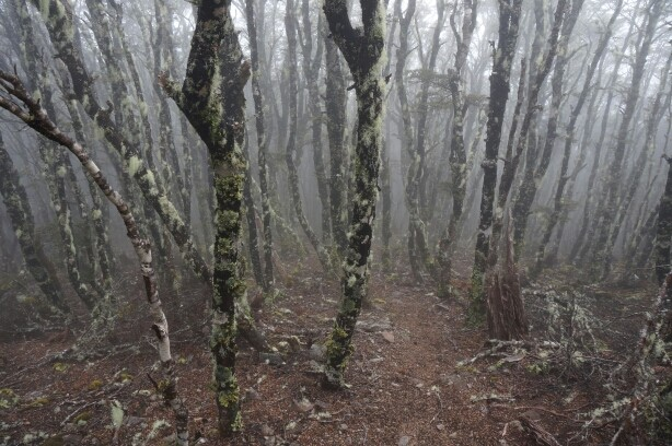 Bergbuchenwald a.k.a. Creepy Forest in den Wolken