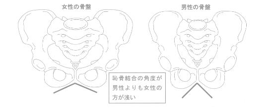 男女で違う骨盤の形