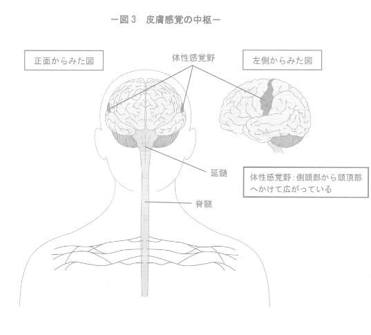 皮膚感覚の中枢