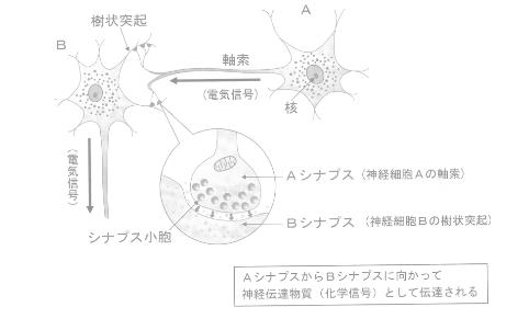 新家細胞間における情報伝達のしくみ