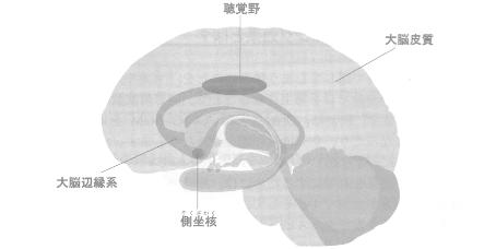 聴覚野と大脳辺縁系