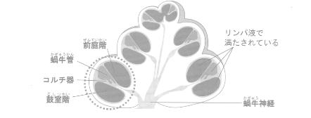 内耳にある蝸牛の断面