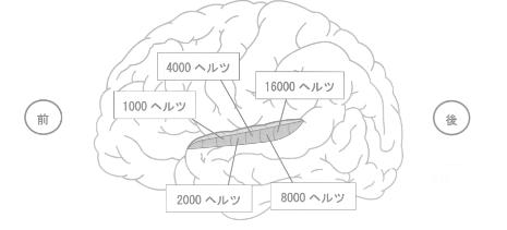 脳の側面から見た聴覚野の周波数局在地図