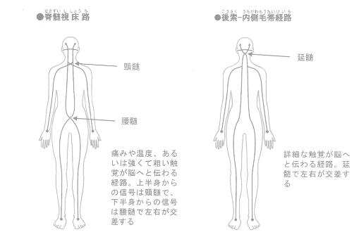 皮膚感覚の伝達経路
