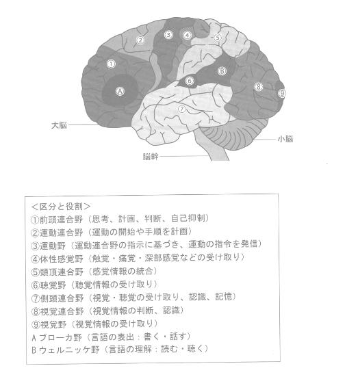 大脳皮質の役割
