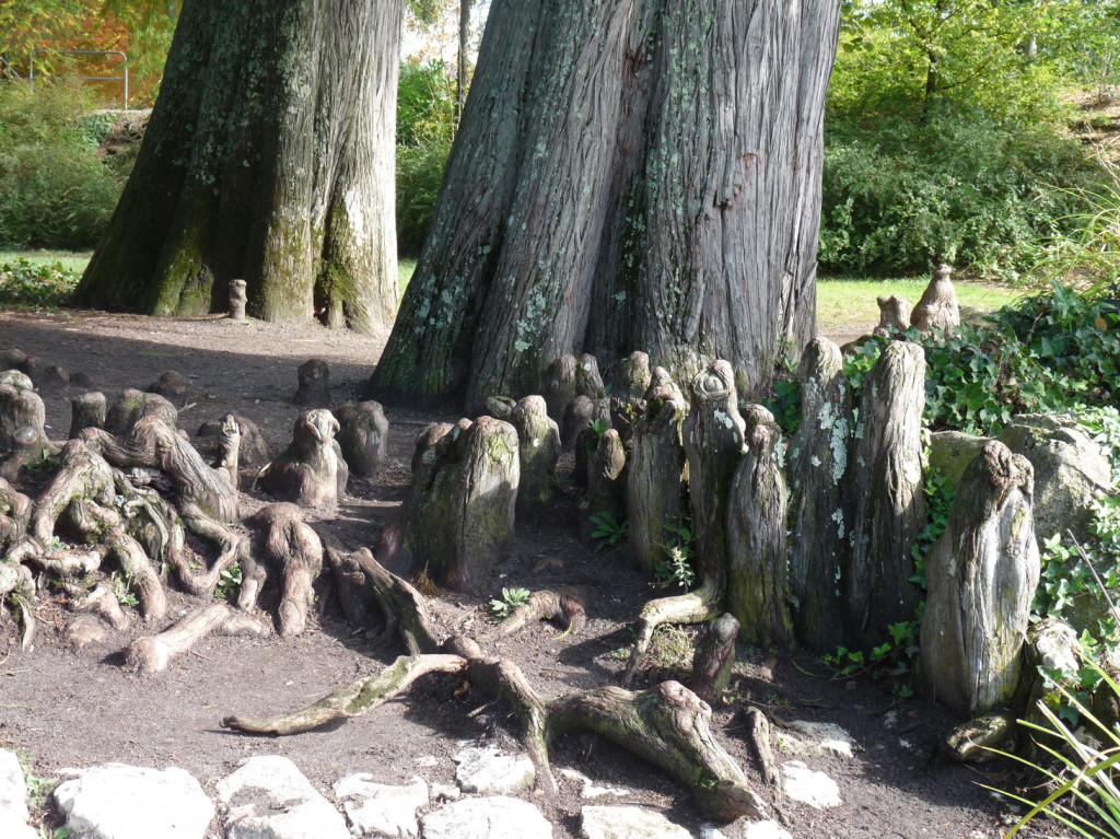 Les racines ascendantes des cyprès chauves