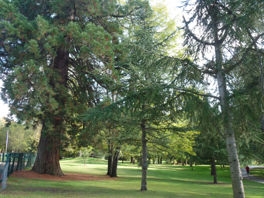 Un des nombreux séquoias