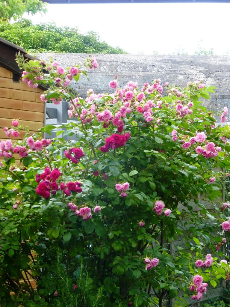 Les habitants ont bouturé leurs rosiers pour la Maison de la rose
