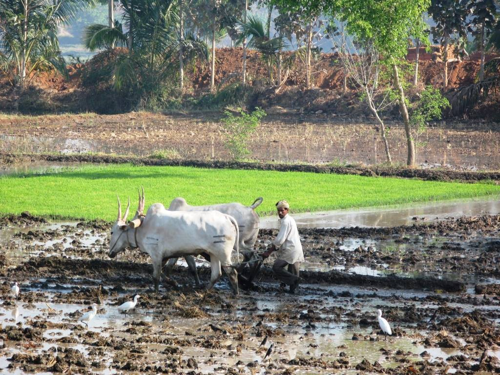 Des paysans du Kérala préparent les champs pour planter le riz, l'or blanc de l'Inde (M. Depecker)