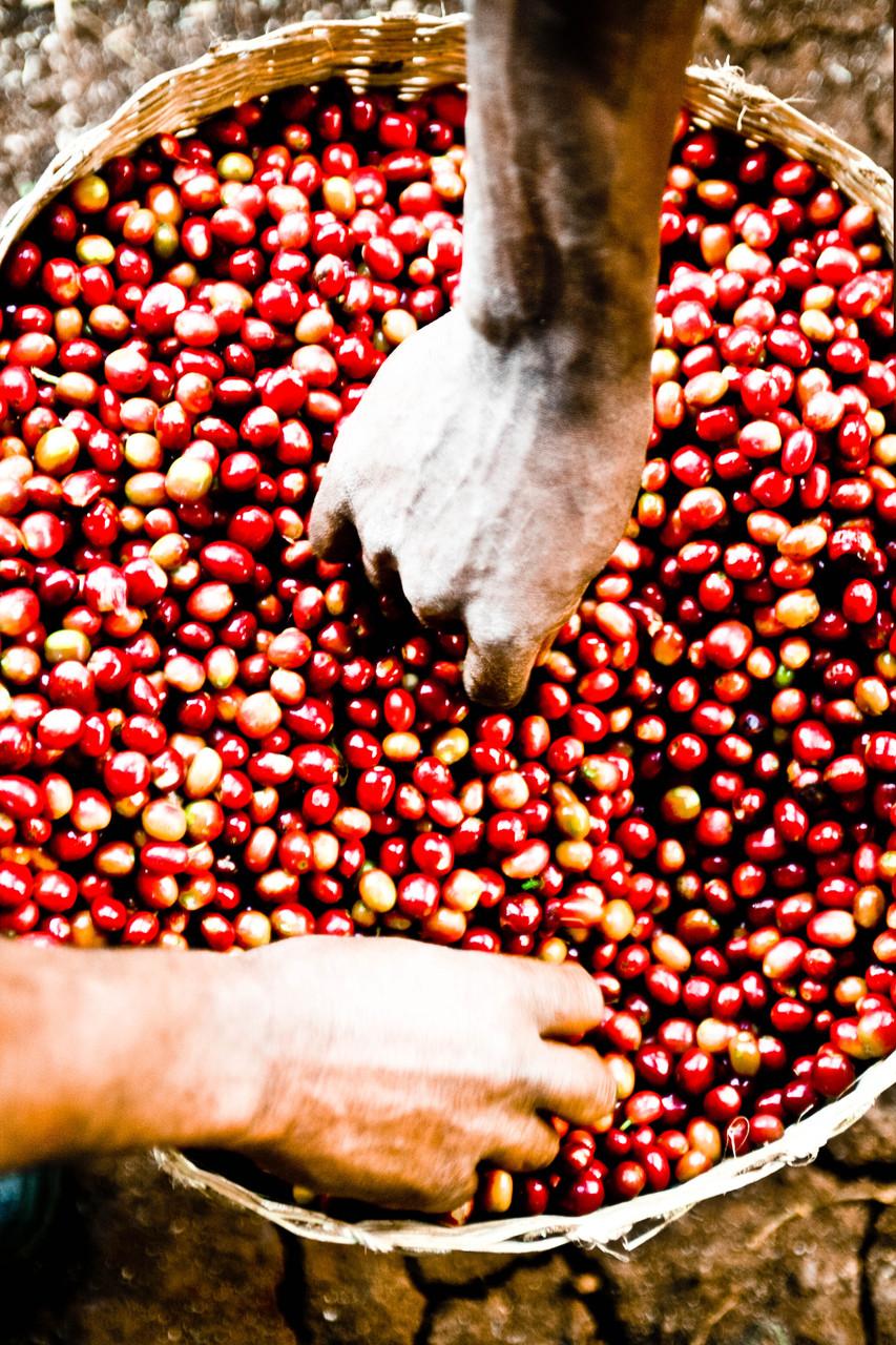 Récolte des cerises d'où sont extraites les graines de café