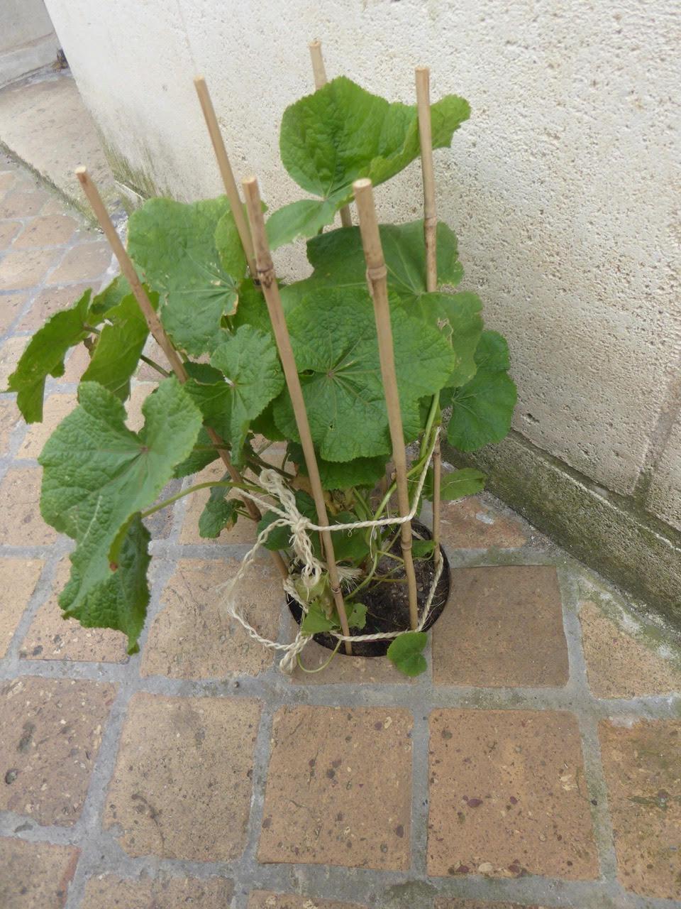 Une rose trémière dans sa fosse à planter creusée par Bordeaux Métropole