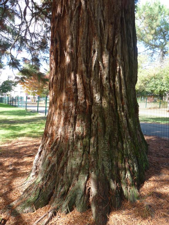 Le tronc du séquoia à l'écorce spongieuse