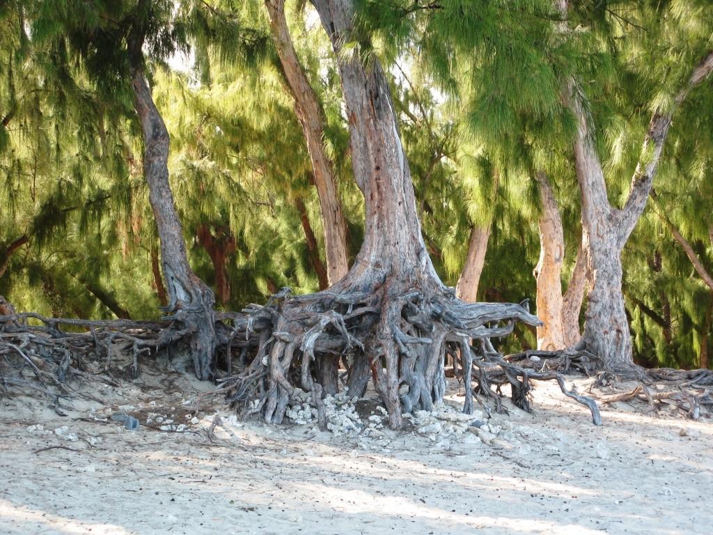 Les filaos avec leurs racines et leurs filaments