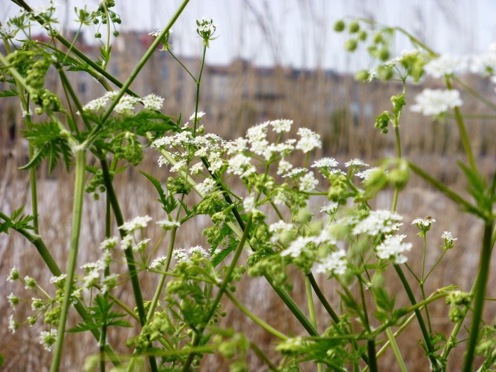 Avec ses bouquets de fleurs blanches