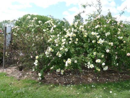 Roses très odorantes
