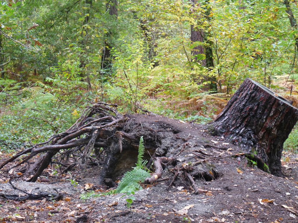 Une souche déracinée par la tempête, laissée dans un but écologique
