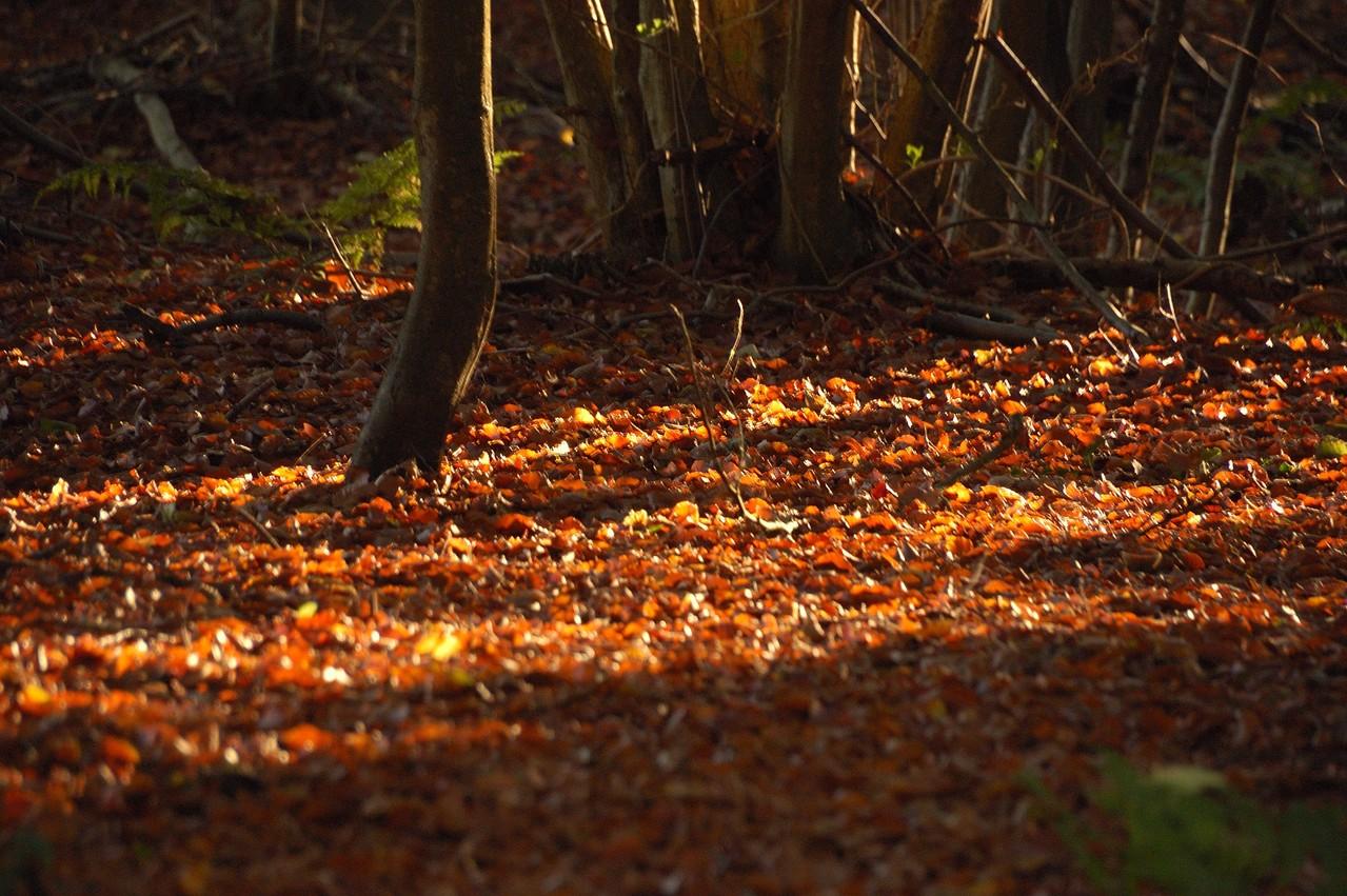im Wald leuchtet das Laub -