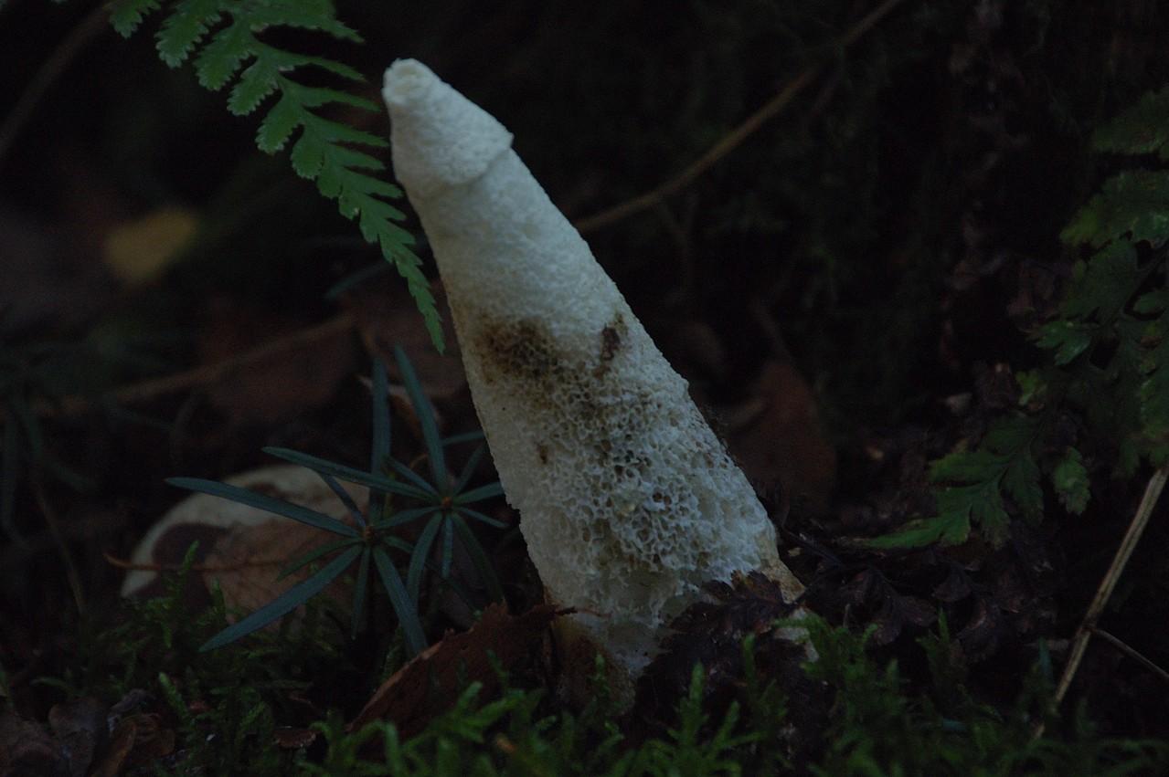 Stinkmorchel - der Geruch zeigt den Weg