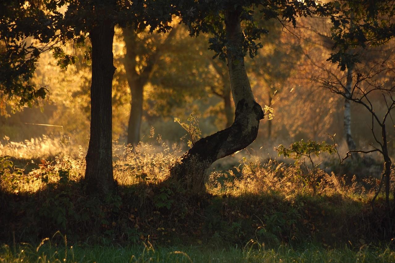 Birken und andere Bäume im Gegenlicht