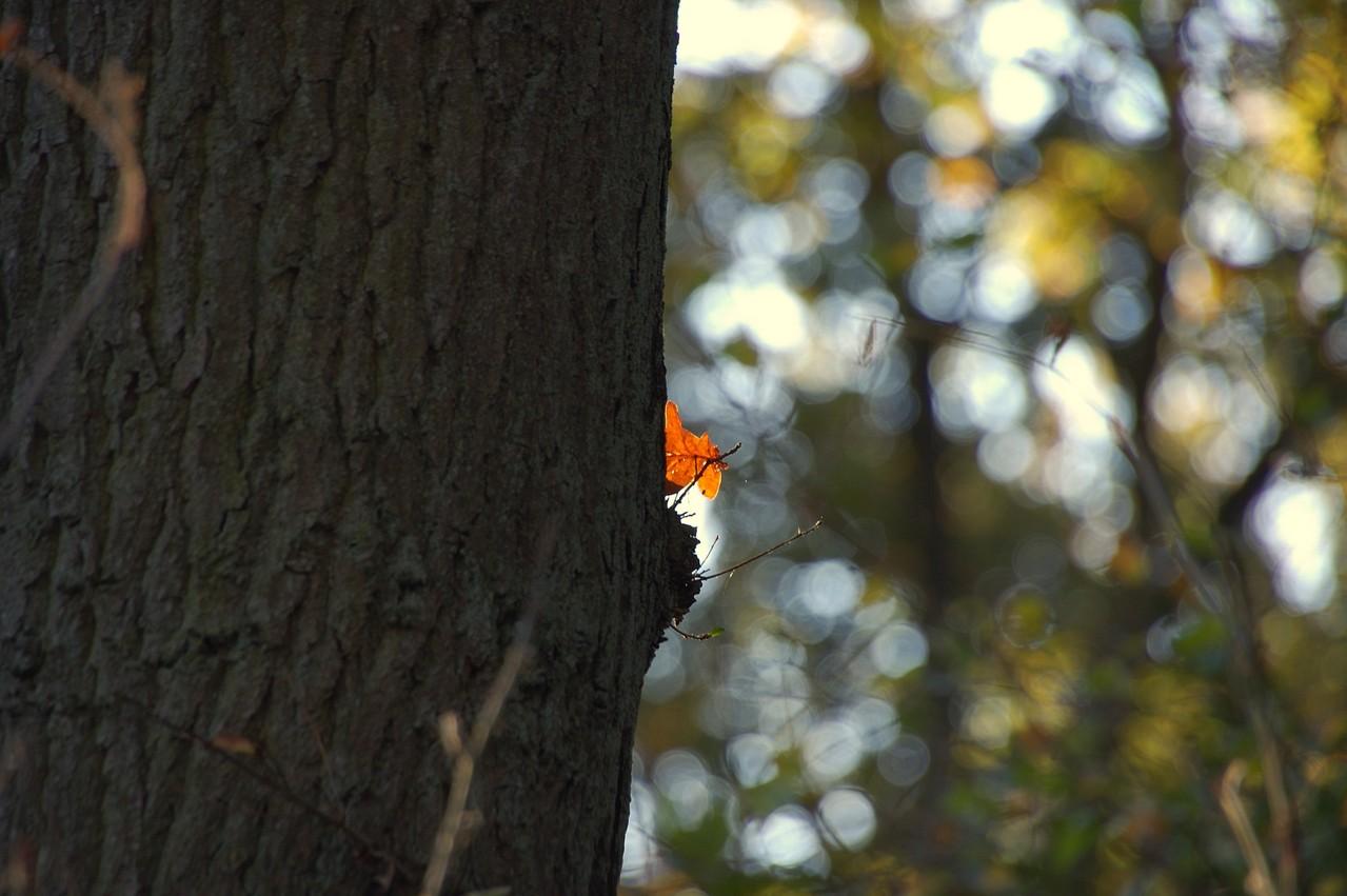 Eichenblatt im Gegenlicht