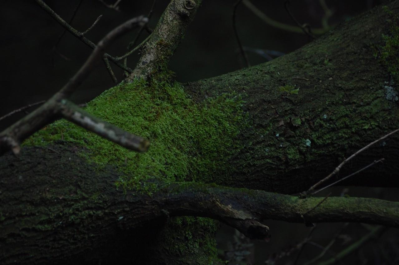 Moos auf Totholz