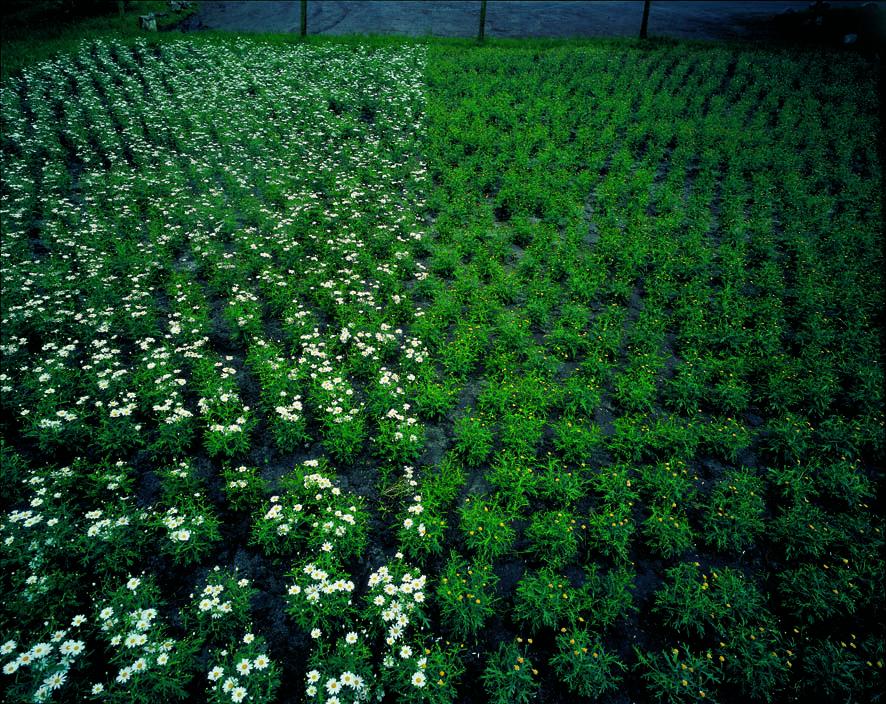 Ursula Neugebauer I von Herzen, mit Schmerzen 2000 I Photographie, 3000 Margeritenstauden auf einem Feld von 200qm mit abgezupften Blütenblätter,  60 cm x 80 cm, Edition 3