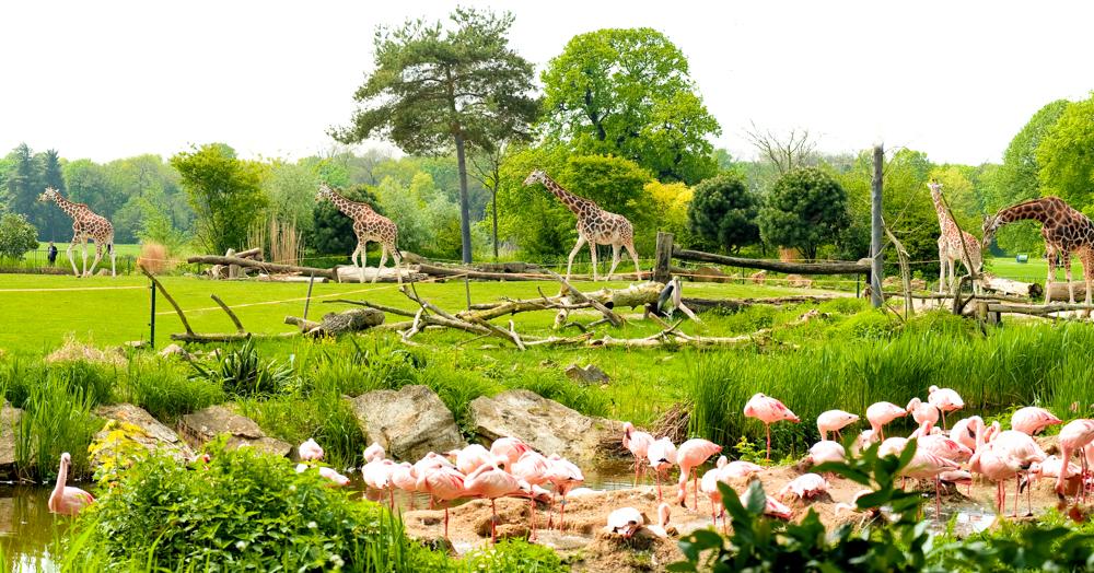 Afrika Savanne im Zoo Leipzig mit Giraffen und Flamingos - © Dirk Brzoska