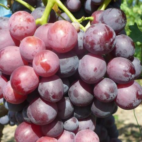 Виноград Кардинал  все о сорте винограда Кардинал