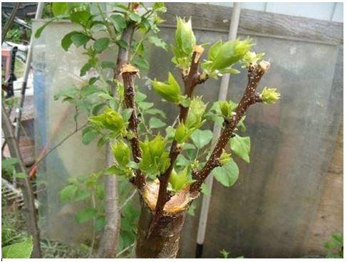 прививка,сорта,семейное дерево,Клин,садовый питомник