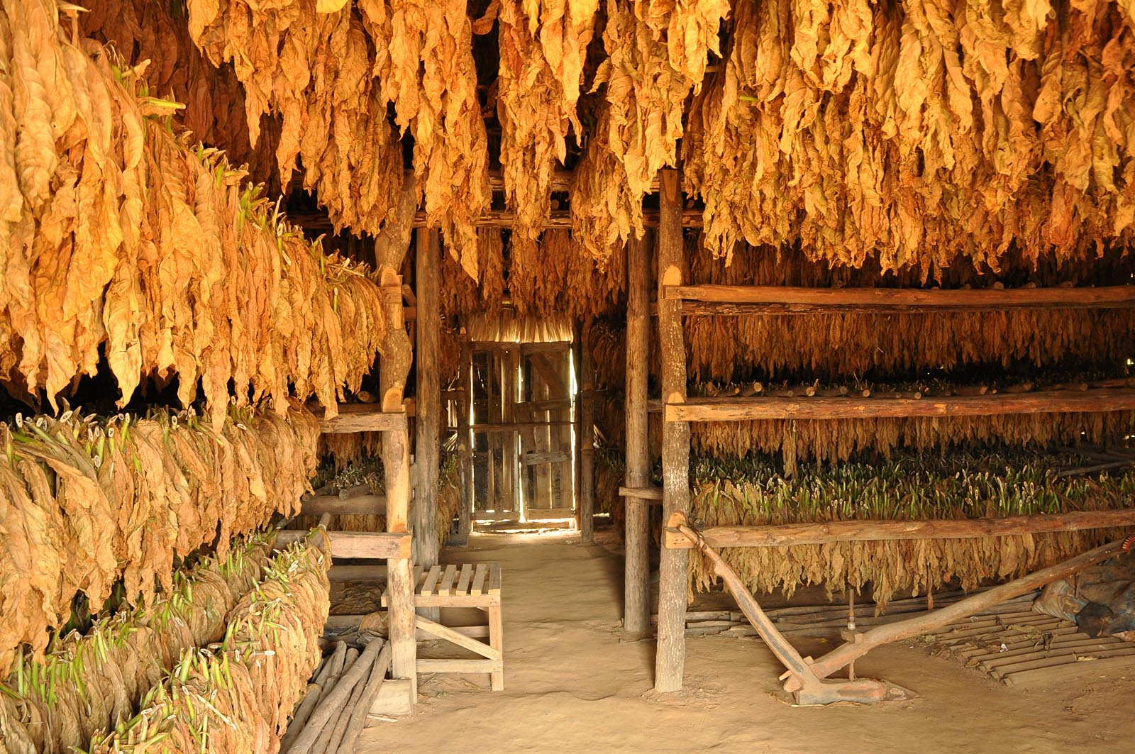 Minimum 7 Wochen werden die Blätter zum Trocknen aufgehängt.