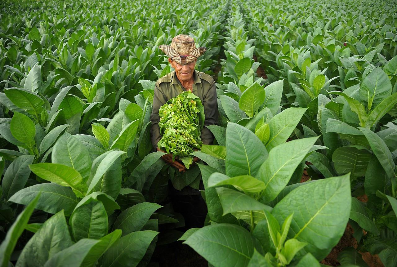 Tabak Produktion, Gepflückt werden die Tabakblätter von Januar bis März.