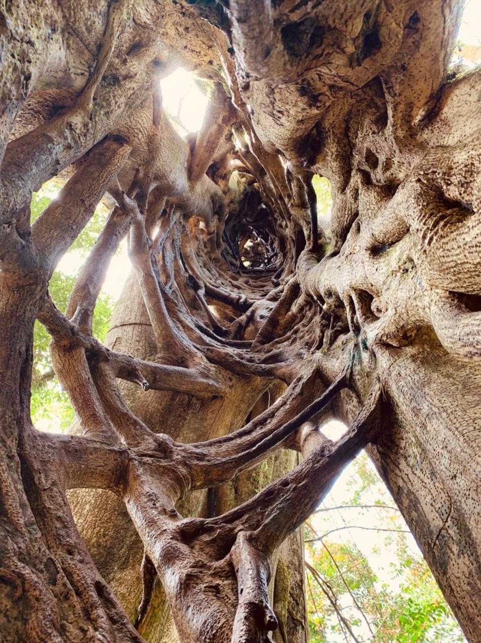 Escalada de un ficus matapalo en Monteverde