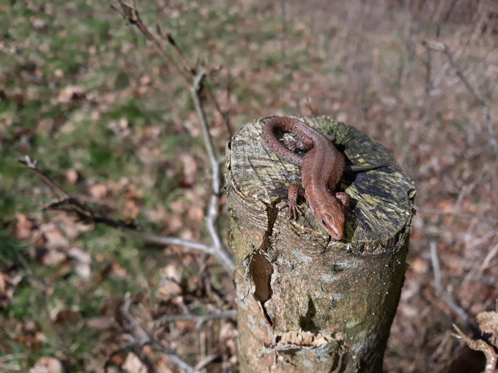 Die junge Waldeidechse scheint sich wohlzufühlen...                              © Lothar Ruppel