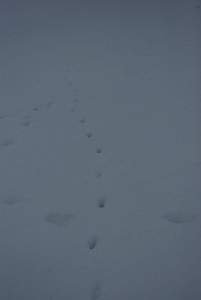 Hier lief ein Fuchs entlang.