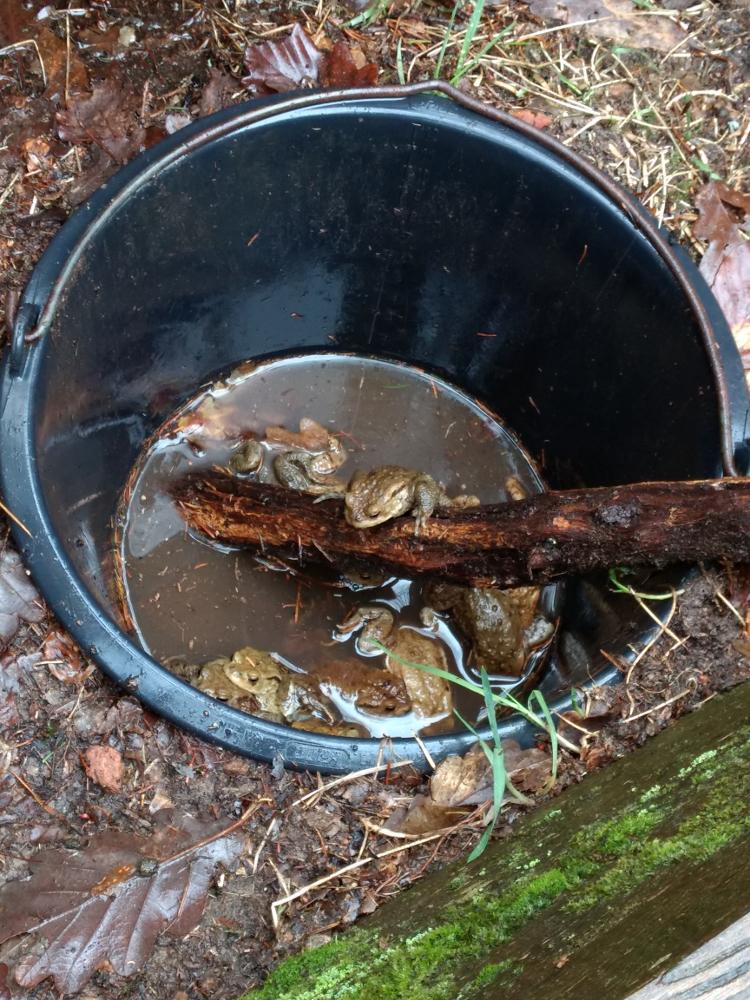 Erdkröten im Auffangeimer - höchste Zeit, dass jemand kommt, denn das Regenwasser wollte gar nicht mehr abfließen.