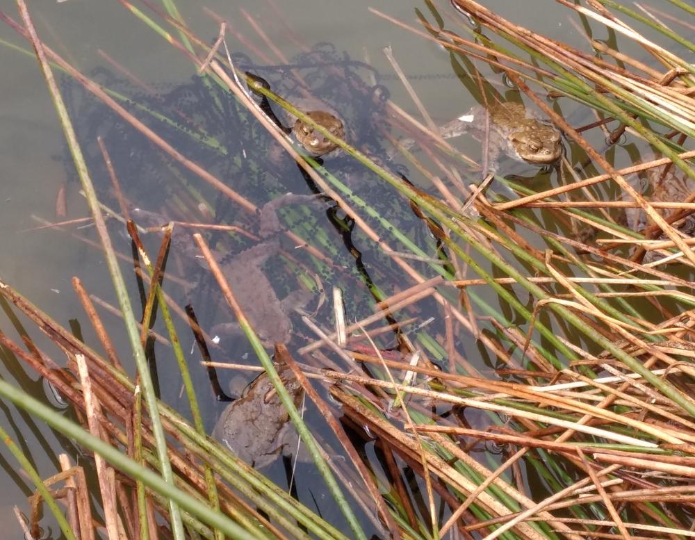 Erdkröten im Teich mit Laichschnur