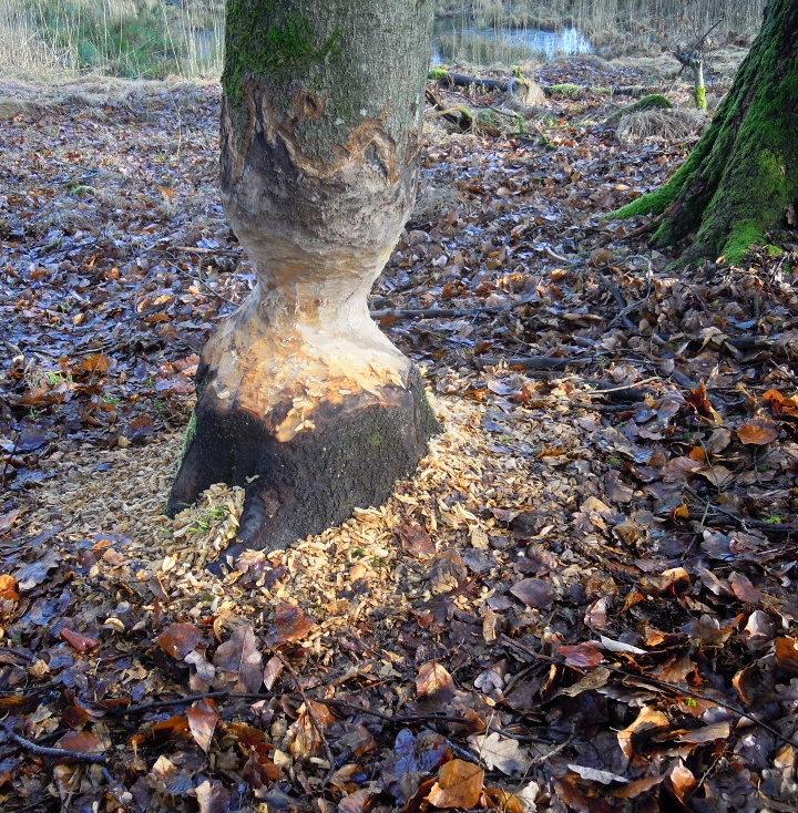 Angenagter Baum