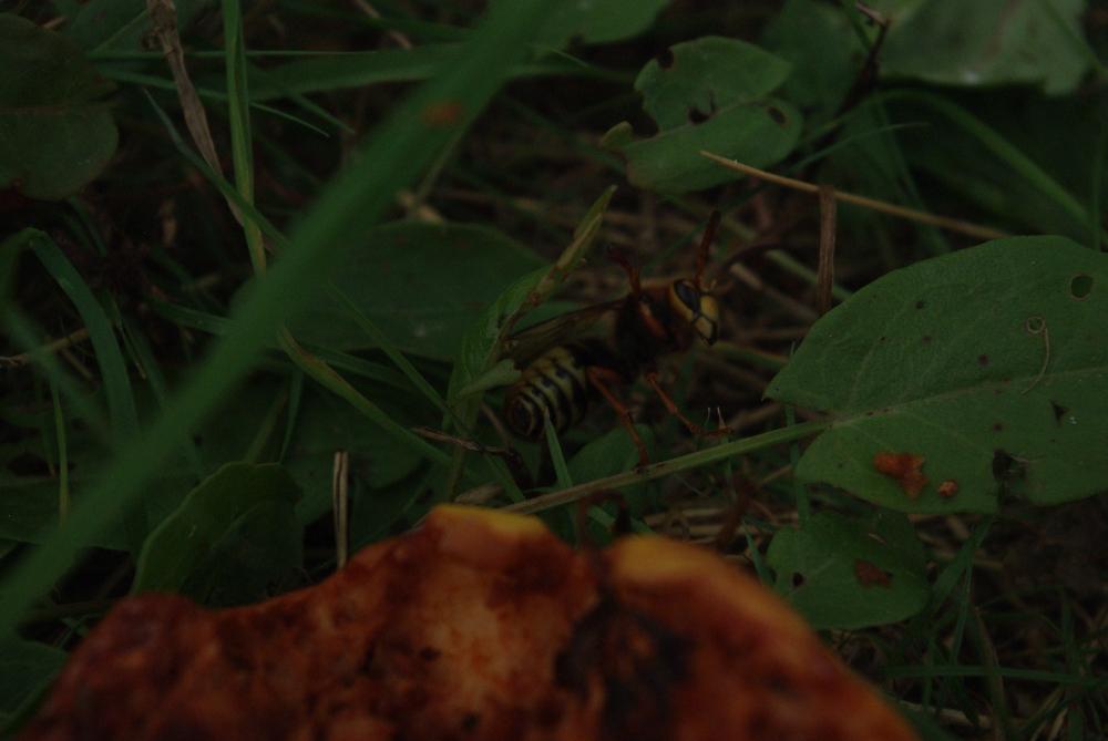 Auch Hornissen freuen sich über Äpfel.