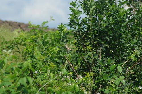 Mönchsgrasmücke mit Futter