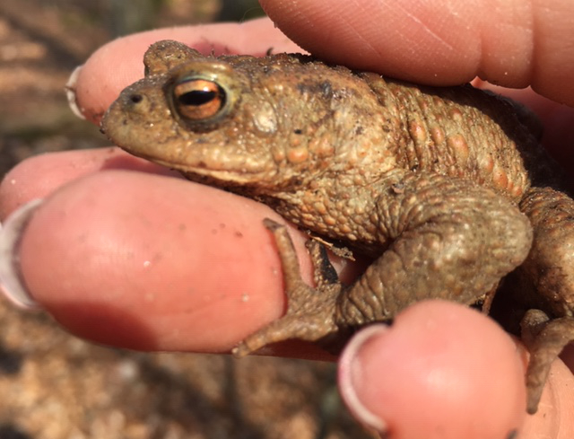 auf Tuchfühlung mit einer Erdkröte