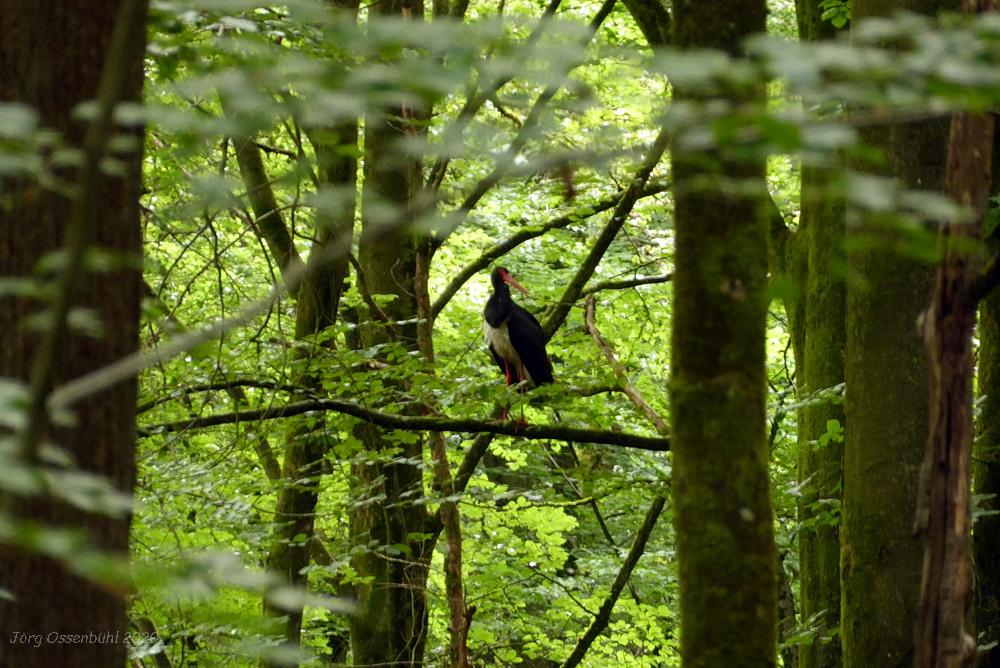 Schwarzstorch in der Nähe des Waldhauses