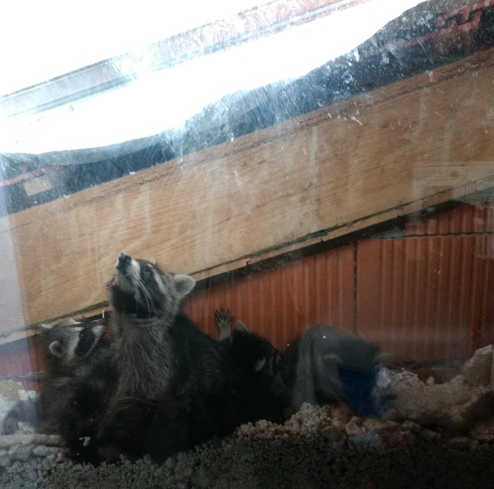 Eine Waschbärenfamilie hinter der Scheibe