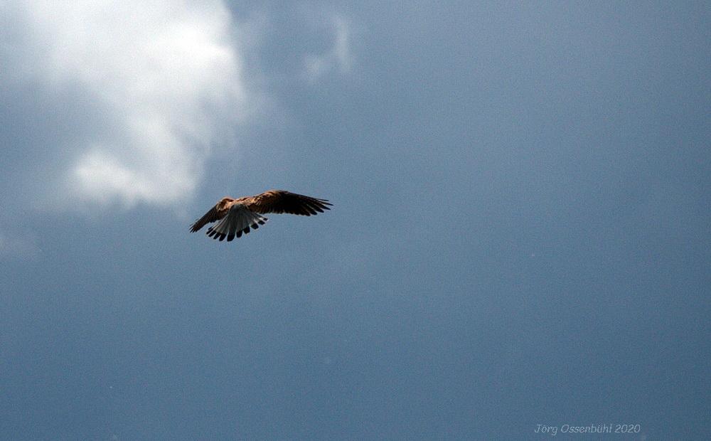 Falke in der Luft Foto: Jörg Ossenbühl