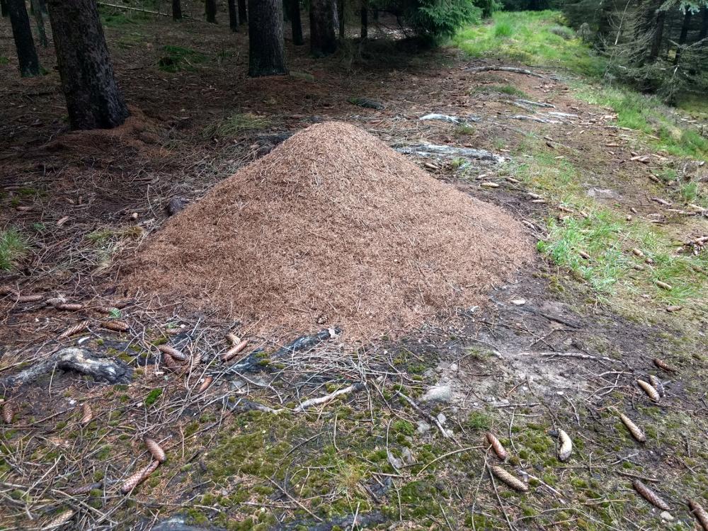 Dieser Ameisenhaufen war vor 2 Jahren noch deutlich kleiner.