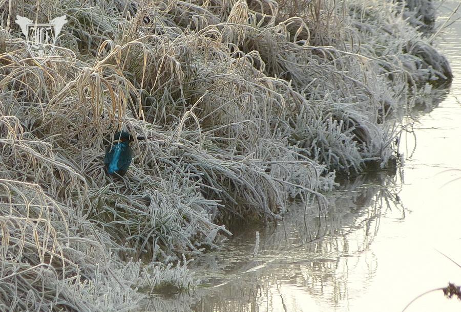 Eisvogel Foto: Jörg Ossenbühl